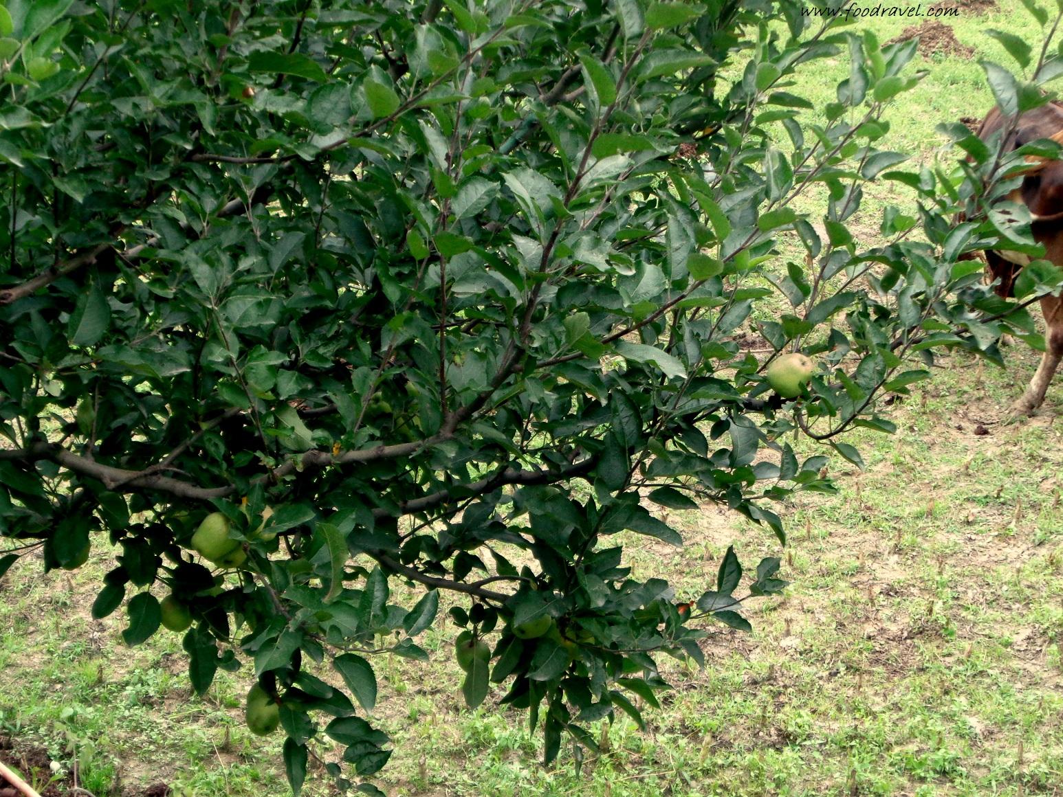 Apple Gardens in Jari